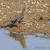 Rusty Blackbird <br /> Riverlands Migratory Bird Sanctuary