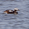 Long-tailed Duck <br /> Lincoln Shields Area <br /> Riverlands Migratory Bird Sanctuary