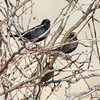 Rusty Blackbirds <br /> Riverlands Migratory Bird Sanctuary