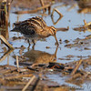 Wilson's Snipe <br /> Columbia Bottom Conservation Area