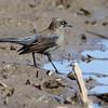 Rusty Blackbird <br /> Columbia Bottom Conservation Area