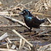 Common Grackle <br /> Columbia Bottom Conservation Area