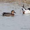 Blue-winged Teal x Green-winged Teal <br /> and Northern Shoveler <br /> Columbia Bottom Conservation Area