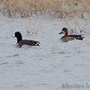 Blue-winged Teal x Green-winged Teal <br /> and American Coot <br /> Columbia Bottom Conservation Area