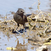 Rusty Blackbird <br /> Columbia Bottom Conservation Area