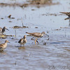 Lesser Yellowlegs and Pectoral Sandpipers <br /> Columbia Bottom Conservation Area