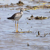 Greater Yellowlegs <br /> Columbia Bottom Conservation Area