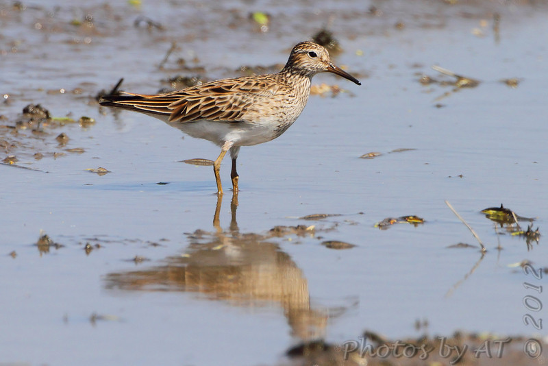 Pectoral Sandpiper <br /> Columbia Bottom Conservation Area