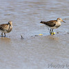 Pectoral Sandpipers <br /> Columbia Bottom Conservation Area