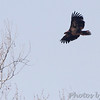 Bald Eagle <br /> Capital View Access <br /> Just northwest of Jefferson City