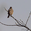 Say's Phoebe <br /> Capital View Access <br /> Just northwest of Jefferson City