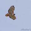Red-tailed Hawk <br /> Capital View Access <br /> Just northwest of Jefferson City