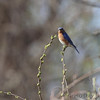 Eastern Bluebird <br /> Capital View Access <br /> Just northwest of Jefferson City