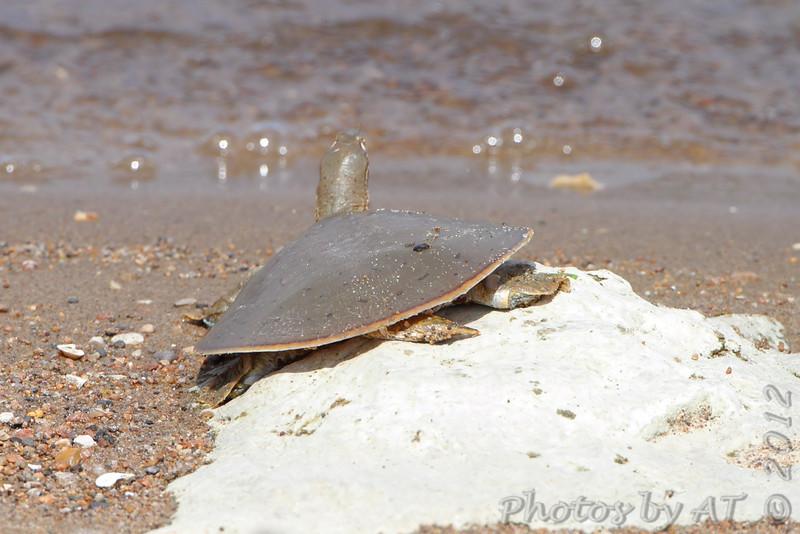 MIdland Smooth Softshell turtle <br /> Riverlands Migratory Bird Sanctuary