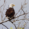 Bald Eagle <br /> Riverlands Migratory Bird Sanctuary