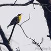 Pine Warbler <br /> Fallen Oak Trail <br /> Busch Wildlife Conservation Area