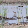 Long-billed Dowitcher <br /> Wilson's Snipe and Least Sandpiper <br /> Columbia Bottom Conservation Area