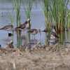 Long-billed Dowitcher <br /> and Yellowlegs sp.<br /> Columbia Bottom Conservation Area