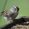 Chipping Sparrow <br /> City of Bridgeton <br /> St. Louis County, Missouri <br /> 3/20/12