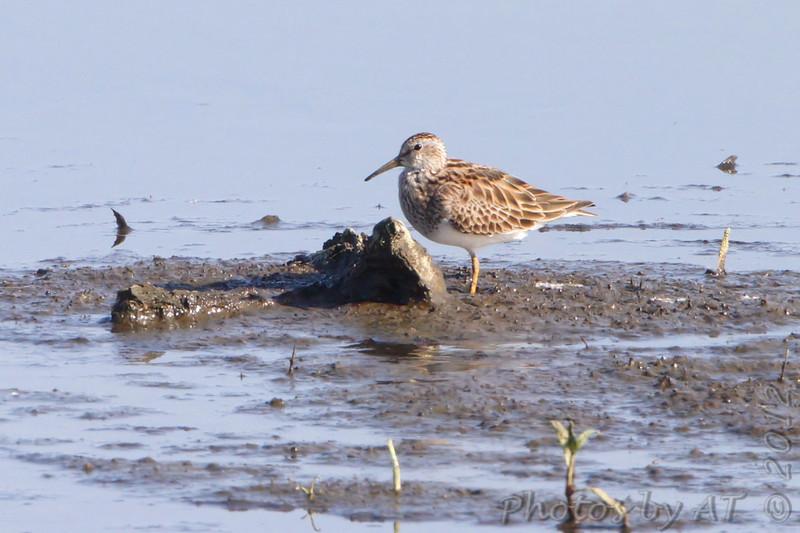 Pectoral Sandpiper <br /> Squaw Creek Natural Wildlife Refuge