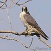 Peregrine Falcon <br /> Squaw Creek Natural Wildlife Refuge