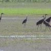 Sandhill Cranes <br /> and Great Blue Heron <br /> Squaw Creek Natural Wildlife Refuge