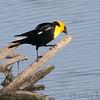 Yellow-headed Blackbird <br /> Squaw Creek Natural Wildlife Refuge