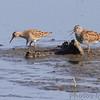 Pectoral Sandpipers <br /> Squaw Creek Natural Wildlife Refuge