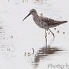 Stilt Sandpiper <br /> Riverlands Migratory Bird Sanctuary