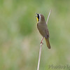 Common Yellowthroat <br /> Riverlands Migratory Bird Sanctuary