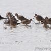 Stilt Sandpiper and Long-billed Dowitchers <br /> Riverlands Migratory Bird Sanctuary