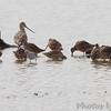 Hudsonian Godwit, Stilt Sandpiper <br /> and Long-billed Dowitchers <br /> Riverlands Migratory Bird Sanctuary