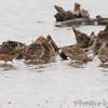 Long-billed Dowitchers <br /> Riverlands Migratory Bird Sanctuary