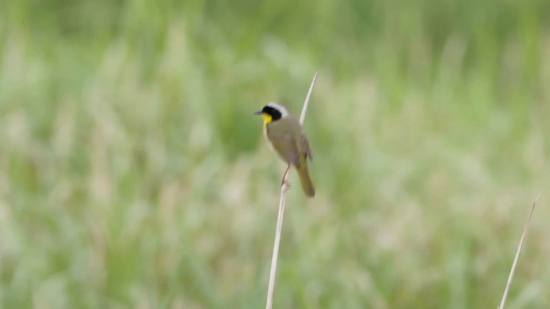 """Common Yellowthroat <br> Riverlands Migratory Bird Sanctuary  <br><br><span class=""""noShowSmart""""> <a href=""""/MyKeywords/Bird-Videos/n-gF9bt/i-v7DShTx/A""""> <span style=""""color:yellow"""">Click here to open video in lightbox/full screen</span></a> </span>  <span class=""""noShowGallery""""> <a href=""""/Birds/Birding-2012-May/2012-05-04-RMBS-CBCA/i-v7DShTx/A""""> <span style=""""color:yellow"""">Click here to open video in lightbox/full screen</span></a> </span>"""