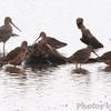 Hudsonian Godwit and Long-billed Dowitchers <br /> Riverlands Migratory Bird Sanctuary
