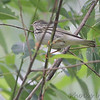 Blackpoll Warbler <br /> Columbia Bottom Conservation Area