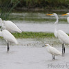 Great and Snowy Egrets <br /> Columbia Bottom Conservation Area
