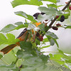 Baltimore Oriole <br /> Columbia Bottom Conservation