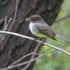 Eastern Phoebe <br /> Columbia Bottom Conservation