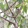 Chestnut-sided Warbler <br /> Columbia Bottom Conservation