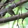 Gray-cheeked Thrush <br /> Tower Grove Park - St. Louis, MO
