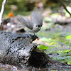 Tufted Titmouse <br /> Tower Grove Park - St. Louis, MO