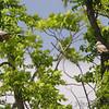 Scissor-tailed Flycatchers <br /> Hwy N Lake St. Louis