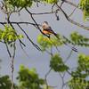 Scissor-tailed Flycatcher <br /> Hwy N Lake St. Louis