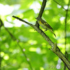 American Redstart <br /> Lost Valley Trail <br /> Weldon Springs Conservation Area