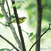 Kentucky Warbler <br /> Lost Valley Trail <br /> Weldon Springs Conservation Area