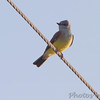 Western Kingbird <br /> at intersection of Fee Fee and Gist Roads <br /> Bridgeton, Mo.