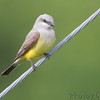 Western Kingbird <br /> Over levee at east end of St. Charles Rock Road <br /> Bridgeton, Mo.<br /> 1 of 2 at this location