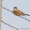 Western Kingbird <br /> at substation on Fee Fee Rd just south of McDonnell Blvd<br /> Bridgeton, Mo.