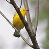 Prothonotary Warbler <br /> Riverwoods Trail in Bridgeton